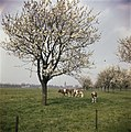 Bomen, weilanden, koeien, Bestanddeelnr 254-7347.jpg