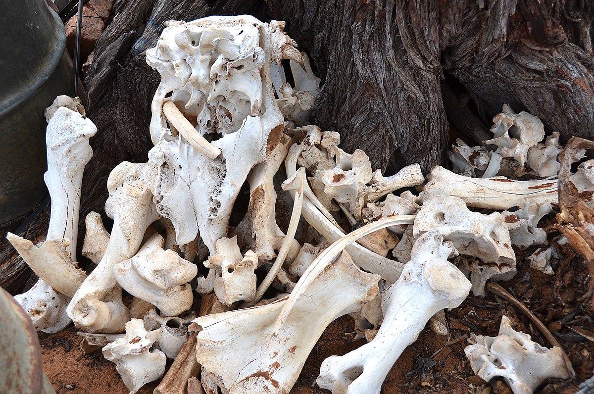 Bones of cattle on a farm in Namibia.jpg