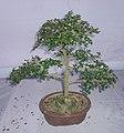 Bonsai of Fuken Tree 01.jpg