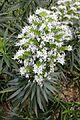 Boraginaceae - Echium decaisnei - 3.jpg