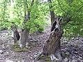 Bosque en Las Médulas - panoramio.jpg