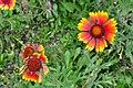 Botanischer Garten der Universität Zürich - Tagetes patula Hybride (Studentenblume) 2010-09-16 16-25-50.JPG