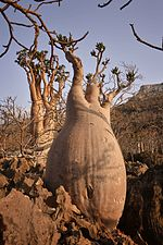 Bottle Tree, Socotra Island (10958518454).jpg