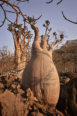 Bottle Tree, Socotra Island (10958518454)