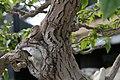 Bougainvillea glabra 8zz.jpg