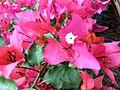 Bougainvillea glabra of Bangladesh 05.jpg