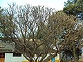 Branched tree.JPG