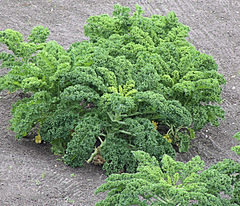 Brassica oleracea var. laciniata, boerenkool