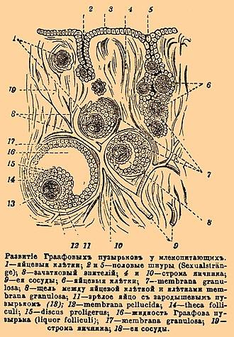 Antral follicle - Image: Brockhaus and Efron Encyclopedic Dictionary b 17 466 0