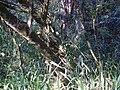 Bromélia na base de uma árvore 3.jpg