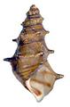 Brotia pagodula shell 2.png