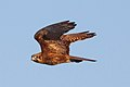 Brown Falcon (Falco berigora) (8079581574).jpg