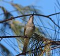 Brown Honeyeater. Lichmera indistincta - Flickr - gailhampshire.jpg