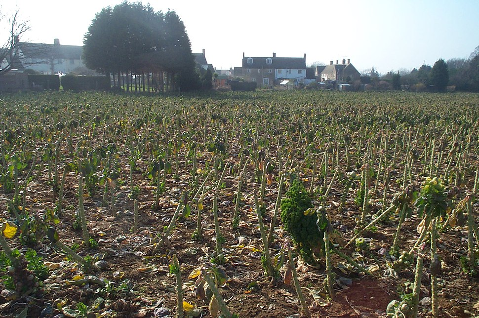 Brussels sprout field 200503