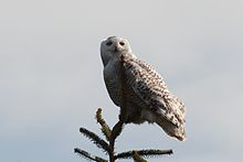 Bubo scandiacus Damon Point 9.jpg