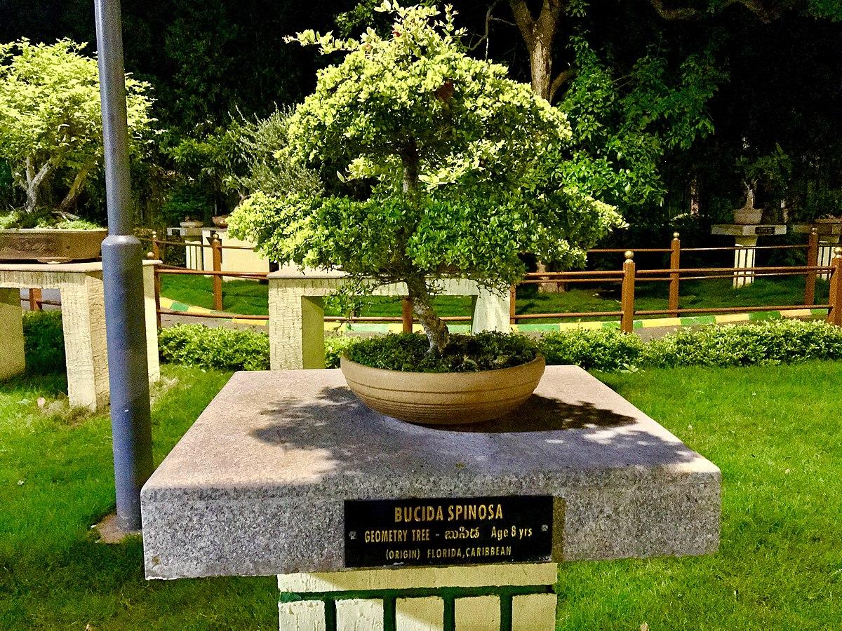 File Bucida Spinosa Bonsai In Vuda City Central Park Jpg Wikimedia Commons