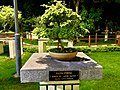 Bucida Spinosa (Bonsai) in VUDA City Central Park.jpg