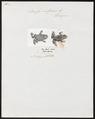 Bufo vulgaris - 1700-1880 - Print - Iconographia Zoologica - Special Collections University of Amsterdam - UBA01 IZ11500141.tif