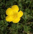 Bulbous Buttercup (Ranunculus bulbosus) - Flickr - Jay Sturner.jpg
