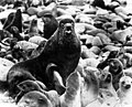 Bull seal and his harem, Alaska (CURTIS 81).jpeg