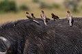 Buphagus africanus, Masai Mara 1.jpg