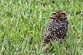 Burrowing Owl - Flickr - GregTheBusker (6).jpg