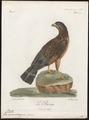Buteo aequinoctialis - 1796-1808 - Print - Iconographia Zoologica - Special Collections University of Amsterdam - UBA01 IZ18200065.tif
