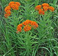 Butterfly Weed (Asclepias tuberosa) (5910140126).jpg