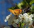 Butterfly in Armenia 09-05-2019.jpg