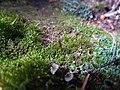 Buxbaumia viridis IMG 5865.jpg