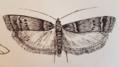 C. calidella sketch at 5.06.35 PM.png