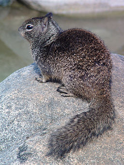 CA ground squirrel