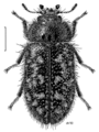 COLE Trogossitidae Grynoma regularis.png