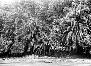 Eugeissona - Eugeissona sp.