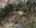 Cabillus tongarevae juvénile.jpg