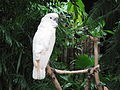 Cacatua moluccensis -Bloedel Conservatory -Vancouver-8a.jpg