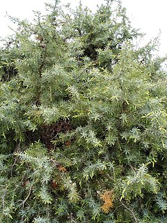 <i>Juniperus oxycedrus</i> species of plant
