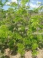 Caesalpinia echinata.jpg