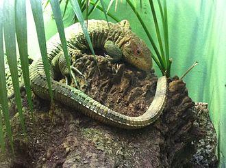 Dracaena (lizard) - Specimen on display at the Smithsonian National Zoological Park, Washington, DC