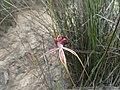 Caladenia lorea 01.jpg