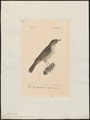 Calamodytes aquatica - 1842-1848 - Print - Iconographia Zoologica - Special Collections University of Amsterdam - UBA01 IZ16200099.tif