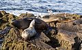 California sea lions in La Jolla (70399).jpg