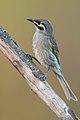 Caligavis chrysops - Glen Alice.jpg
