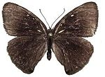 Calisto bradleyi female upper side.JPG