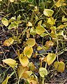 Calla palustris - Oslo, Norway 2020-09-02.jpg