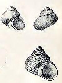 Calliotrochus marmoreus 001.jpg