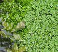 Callitriche cophocarpa płytnica.jpg