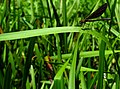 Calopteryx IMG 6355^.jpg