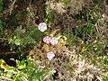 Calystegia sepium roseata R.Br. (AM AK304529-1).jpg