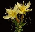 Calytrix angulata - Flickr - Kevin Thiele.jpg